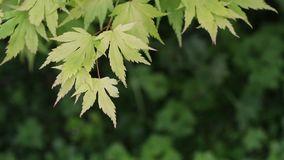 Green leaves, Japanese maple branch, Acer, HD footage. Green leaves, Japanese maple branch, Acer, close up HD footage stock video footage