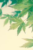 Green leaves of Japanese maple tree, background Royalty Free Stock Photos