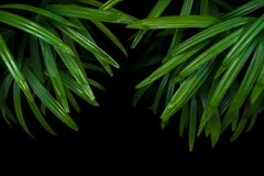 Green leaves of lady palm or bamboo palm Rhapis excelsa the fa Stock Photos