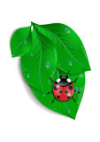 Green leaves with ladybird and water drops Royalty Free Stock Photography