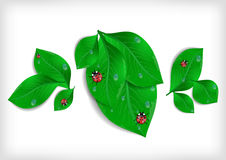 Green leaves with ladybirds and waterdrops Royalty Free Stock Photos