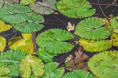 Green leaves in lake views from above with the shape of the famous Pacman doll. Nature stock photo