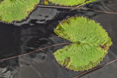 Green leaves in lake views from above with the shape of the famous Pacman doll. Nature royalty free stock photo