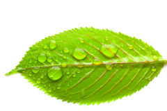 Green leaves with large drops of water Royalty Free Stock Photos