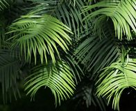 Green Leaves In Layers. With light shining on outer fronds Stock Images