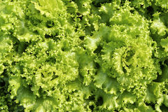Green leaves lettuce. Royalty Free Stock Photo