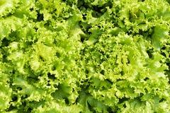 Green leaves lettuce. Stock Images