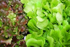 Green leaves of lettuce and salad box for sale in the grocery ma Stock Photo