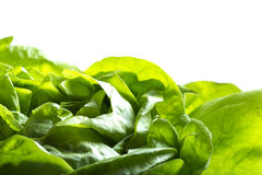 Green leaves lettuce Royalty Free Stock Photography