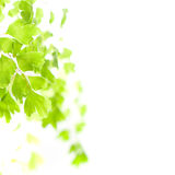 Green leaves in light Royalty Free Stock Image