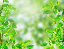 Green leaves on light bokeh background. Green leaves on light green bokeh background Royalty Free Stock Photography