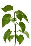Green leaves of Lilac, Syringa vulgaris, isolated on white backg Royalty Free Stock Photo