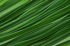 Green leaves of lily Royalty Free Stock Photography