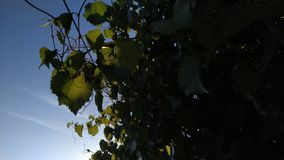 Green leaves of lime tree illuminated by sun.
