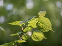 Linden leaves in the sun on a background of green foliage in the forest stock photos