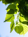 Green leaves of the lime tree in the sunshine Royalty Free Stock Photos
