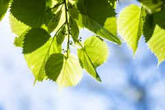 Green leaves of the lime tree in the sunshine Stock Photo