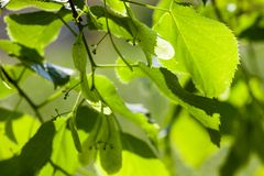 Green leaves of the lime tree in the sunshine Stock Image