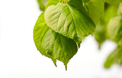 Green leaves of a linden Royalty Free Stock Photos