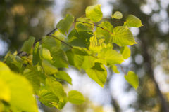 Green leaves on a linden tree branches. Green leaves on the branches of linden against the sky Stock Photos