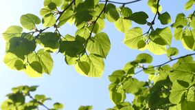 Green leaves of linden tree. On sky background stock video footage