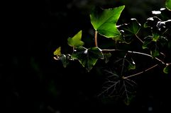 Leaves lit by the sun in the shade. Green leaves lit by the sun in the shade royalty free stock photography