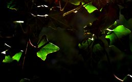 Leaves lit by the sun in the shade. Green leaves lit by the sun in the shade stock image