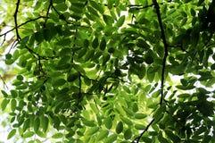 Leaves of Locust tree in spring. Green leaves of locust tree in spring royalty free stock photography