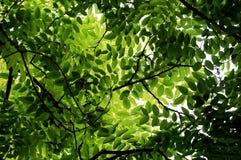 Leaves of Locust tree in spring. Green leaves of locust tree in spring royalty free stock image