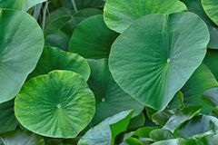 Green leaves of the Lotus Stock Images