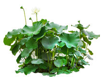 Green leaves of lotus tree in pond isolated on white background Royalty Free Stock Image