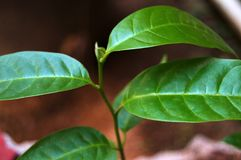 Green Leaves Loyalty Free Stock Photo royalty free stock photography