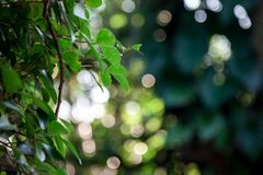 Green leaves are lush within the forest. And has beautiful bokeh in background Royalty Free Stock Photography