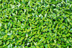 Green leaves. Royalty Free Stock Photography