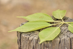 Green Leaves lying on tree trunk. Green leaves lying on old tree trunk Stock Photography
