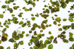 Green leaves lying on the white snow Royalty Free Stock Photo