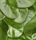 Green leaves macro Stock Photography