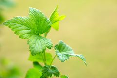 Green  leaves ,macro shot. Stock Photography