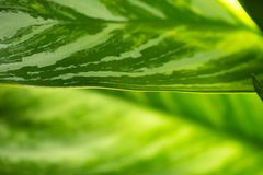 Green leaves is macro. Soft focus, leaf, plant, concept, growth, ecology, background, environment, abstract, foliage, fresh, sunny, spring, bright, texture stock photography