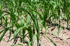 Green leaves of maize growing in the field Stock Images
