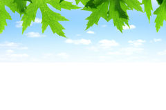 Green leaves of maple with blue sky Royalty Free Stock Images