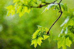 Green leaves of maple on a branch. Young green leaves of maple on a branch Stock Photo