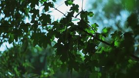 Green leaves. Of a maple are moved by a wind stock video