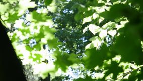 Green leaves on maple tree against clear blue sky stock footage