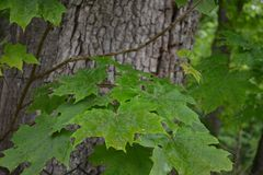Green leaves of maple tree. Brown trunk of the tree. The branches with green leaves are visible near the trunk of the tree Stock Photo