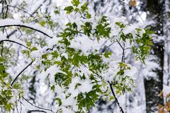 Green leaves of maple tree covered with first white fluffy snow Royalty Free Stock Image