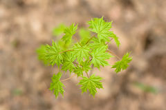 Green leaves of maple tree in early spring Stock Images