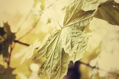 Green leaves of the maple tree wet after the rain. Green leaves of the maple tree stock image