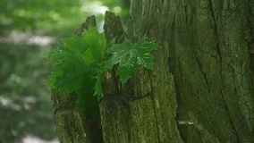 Green leaves of the maple tree wet after the rain. Close-up stock footage