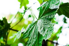 Green leaves of the maple tree wet after the rain. Close-up stock photos